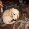 dachshund1
