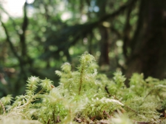 Macro of blooming moss
