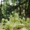Macro of blooming moss