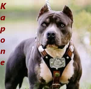 pitbull kapone Sig Pic