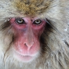 Snow Monkeys Japantrip 2018