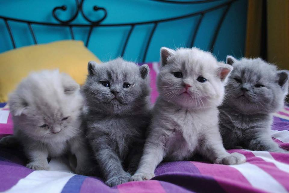 Small British kittens