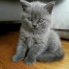 British kitten