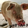 renegate pig01 (Forum)