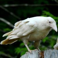 White Raven's Photo